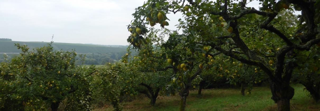 Quittengarten
