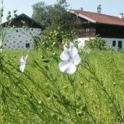 Flachs (Linum spec.) in Amerang