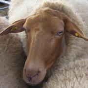 Schafe Coburger Fuchsschaf