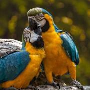 Papageien Ara