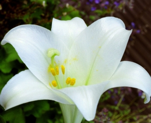 Lilium longiflorum