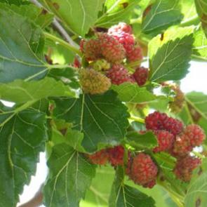 Maulbeeren (Morus)