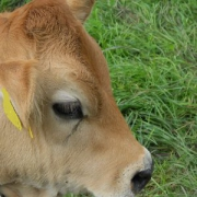 Murnau-Werdenfelser Rinder