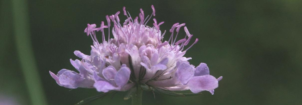 Ackerwitwenblume (Knautia arvensis)